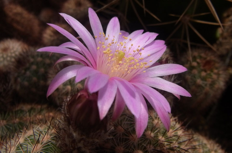 Echinocereus lauii