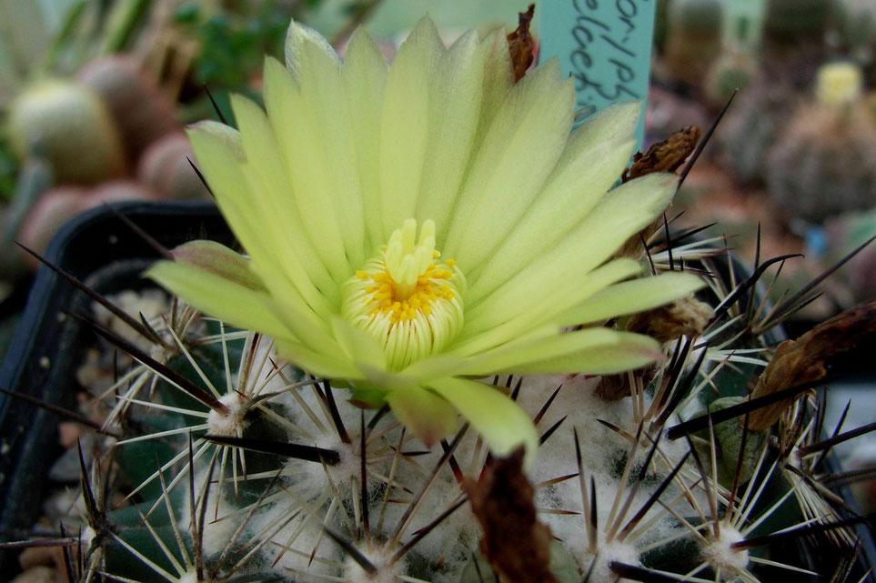 Coryphantha delaetiana