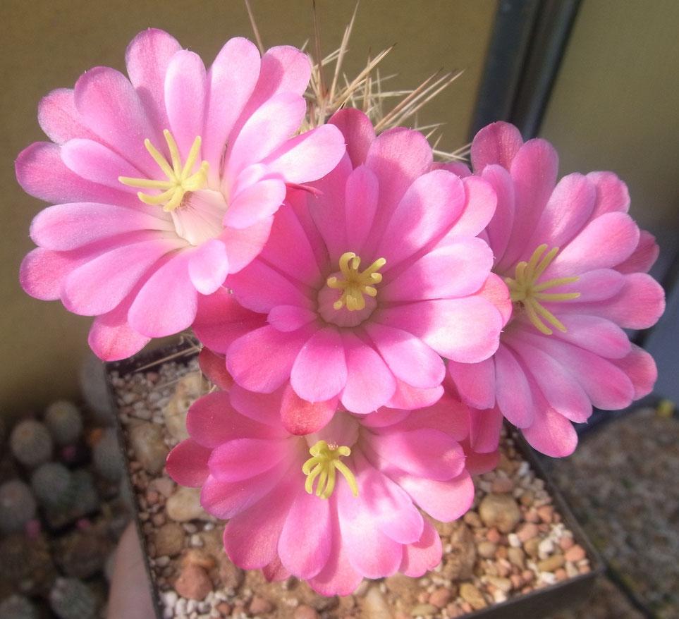 Echinocereus coccineus v arizonicus - steht auch im Winter geschützt im Freien