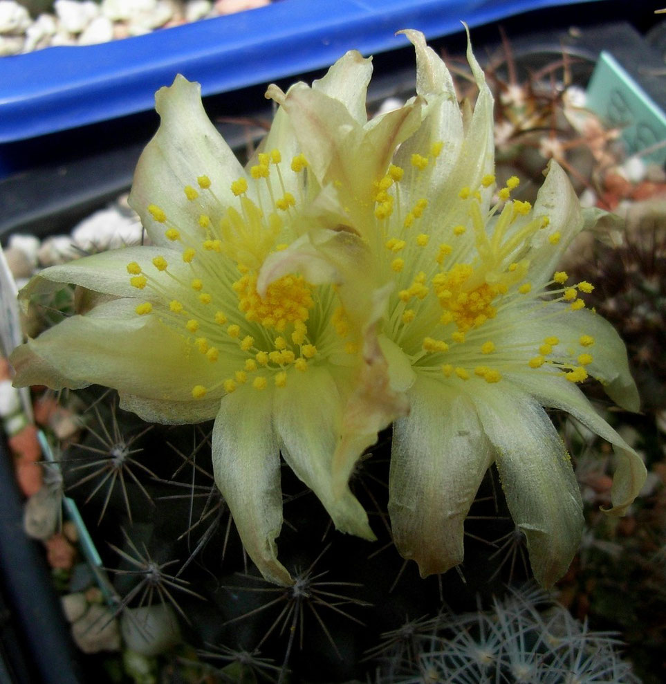 Copiapoa tocopilliana
