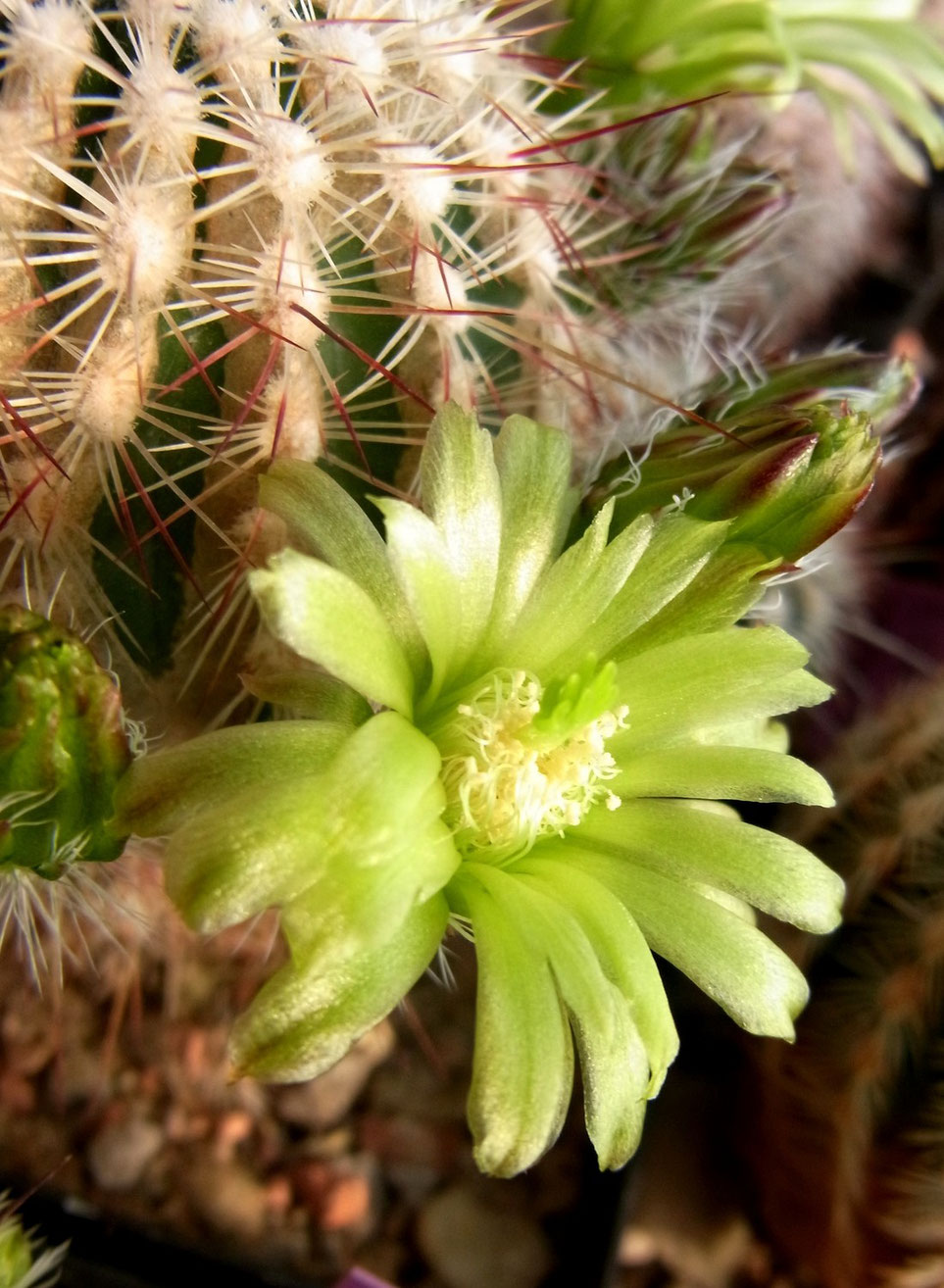 Echinocereus chloranthus Lz 085