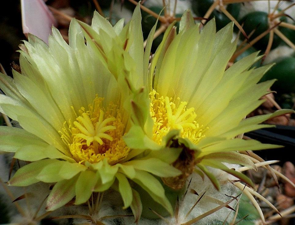 Coryphantha sulcolanata