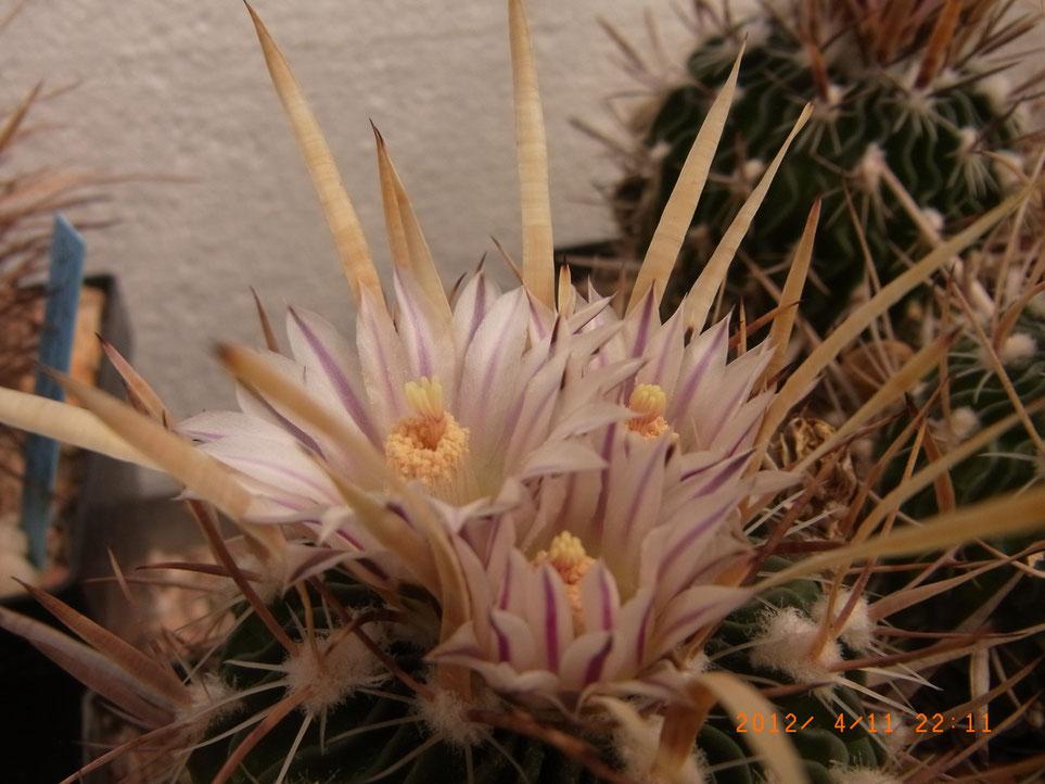 Echinofossulocactus ochoterraneus,