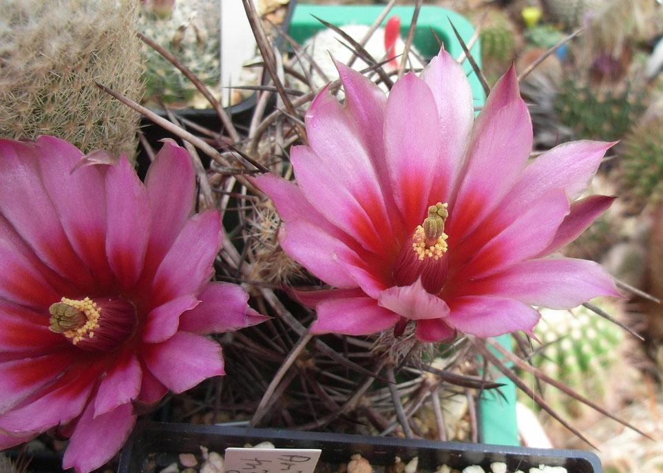 Echinocereus lindsay