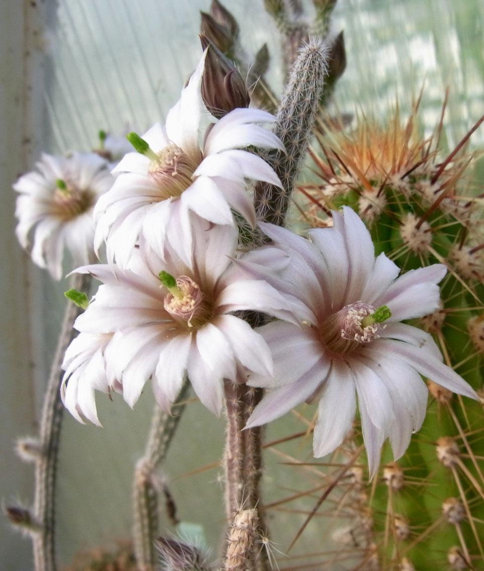 Echinocereus leucanthus, Wilcoxia