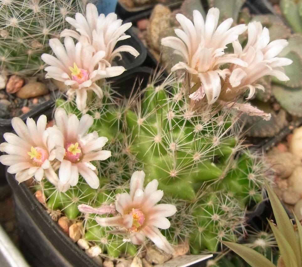 Escobaria duncanii SB 909