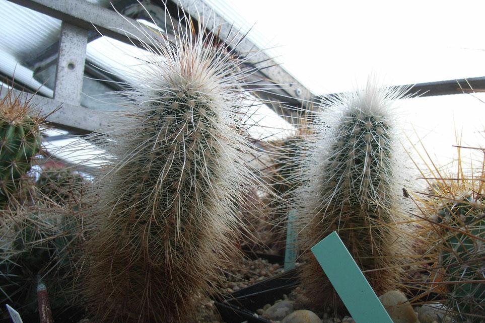 Echinocereus longisetus