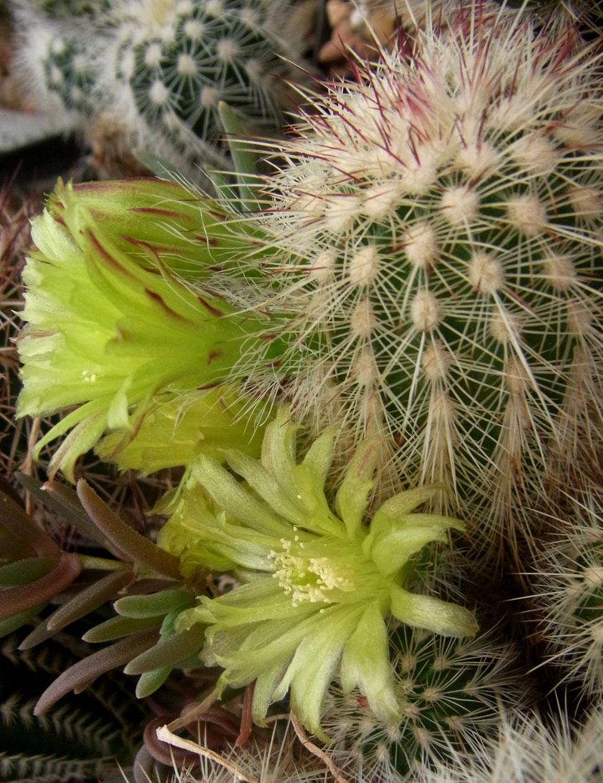 Echinocereus cholranthus v. spec nova