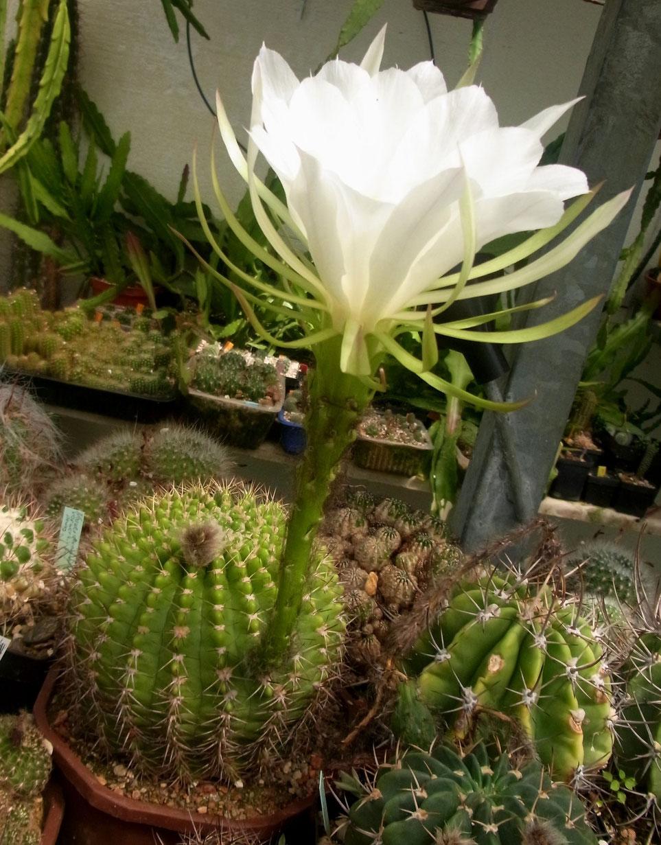 Echinopsis mammillosa