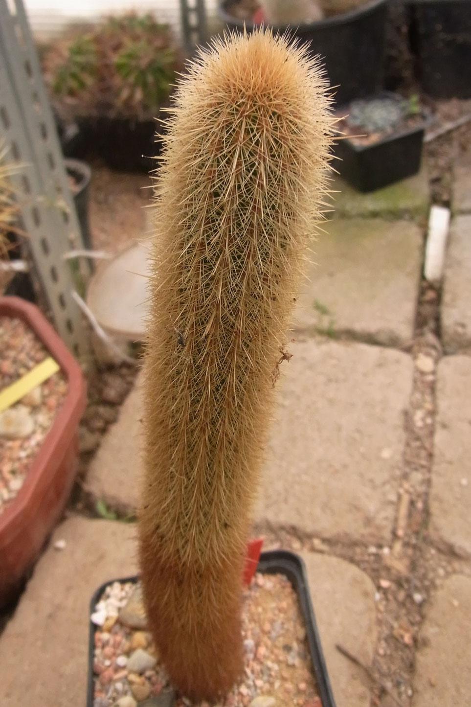 Cleistocactus schattanianus