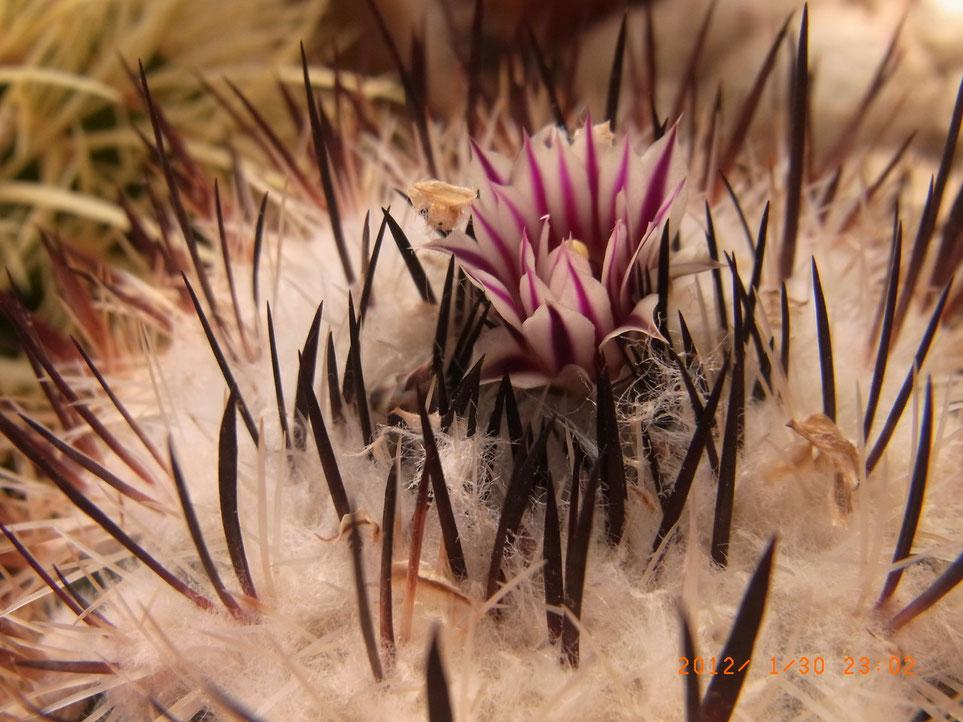 Echinofossulocactus zacatecensis