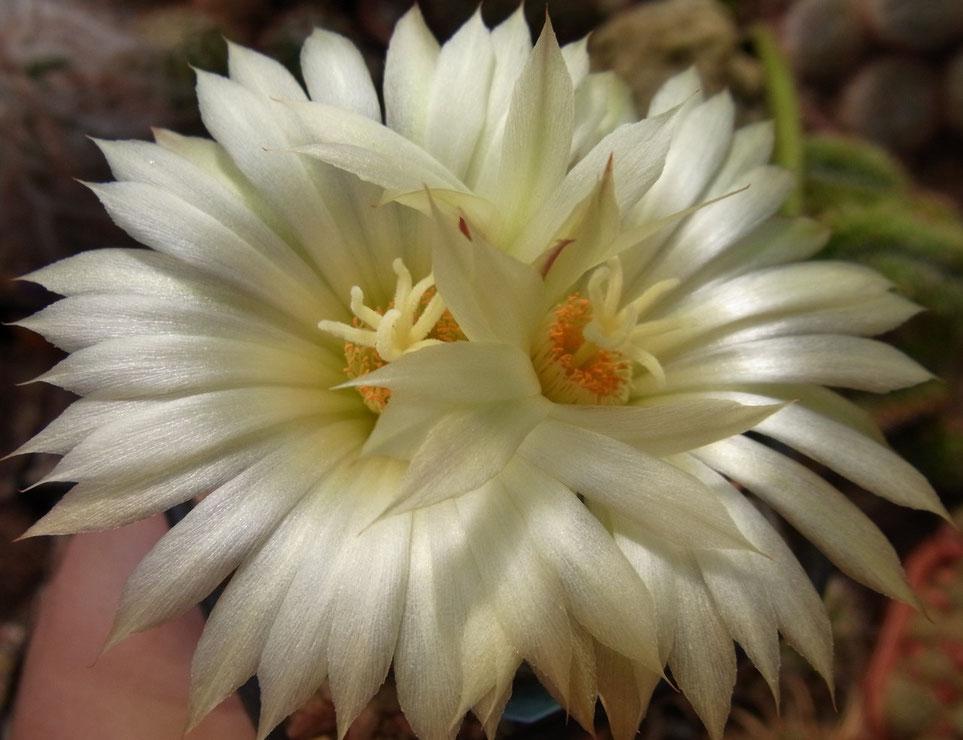 Coryphantha macrochele