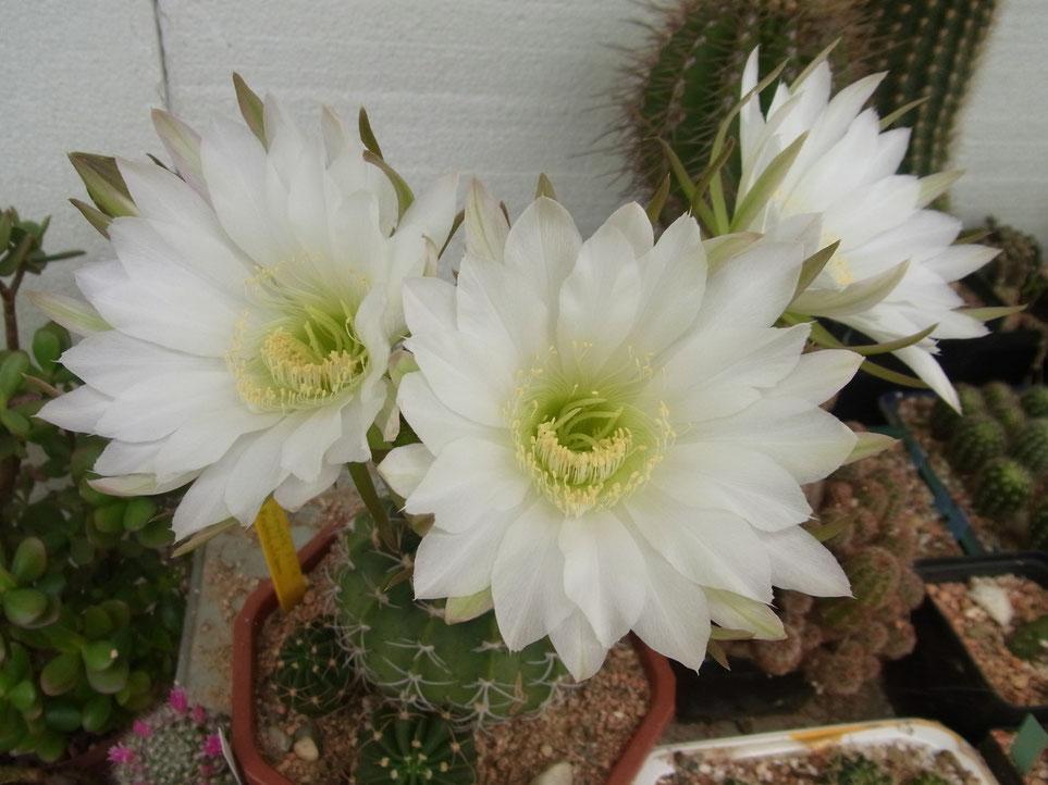 Echinopsis kratochvilliana