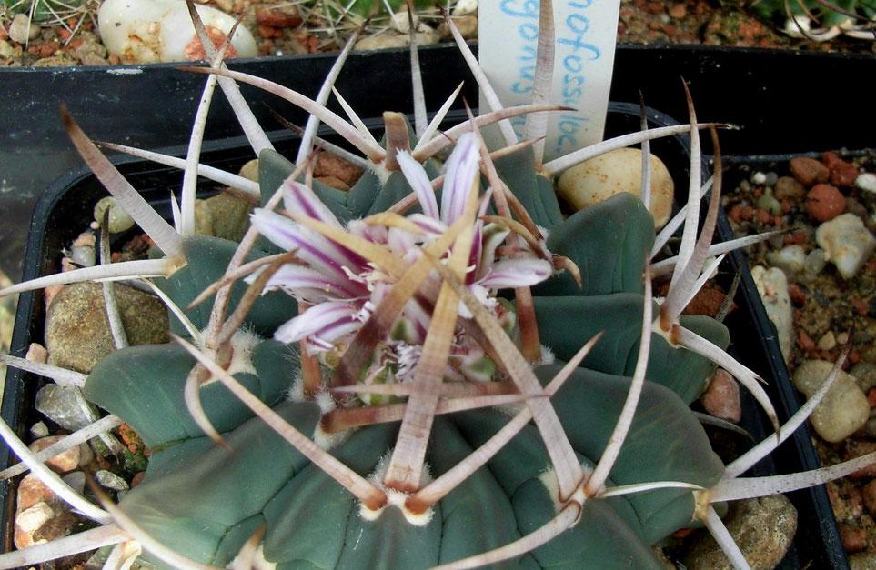 Echinofossulocactus coptonogonus