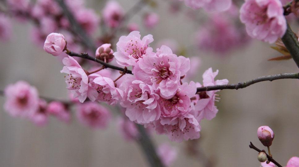 Kirschblütenzweig in England mit zauberhaften rosa Blüten, ein Traum