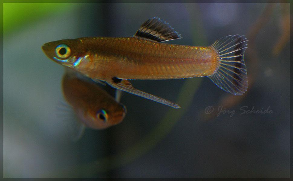 Priapichthys nigroventralis jorschi s welt for Seltene zierfische