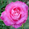 Mme Rose Romarin