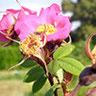 R. Macrophylla 'Muster Hugh'