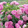 R. multiflora 'dawnsoniana'