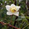 R. Moschata dello Yunnan