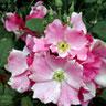 Beijing Pink
