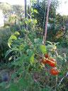 La tomate qu'on trouve partout