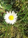 Ein Gänseblümchen auf einer Wiese.