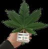 Hanfpflanzen online kaufen / bestellen