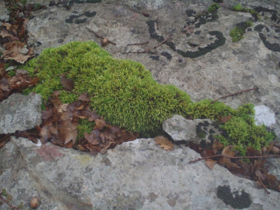 Mousse des rochers