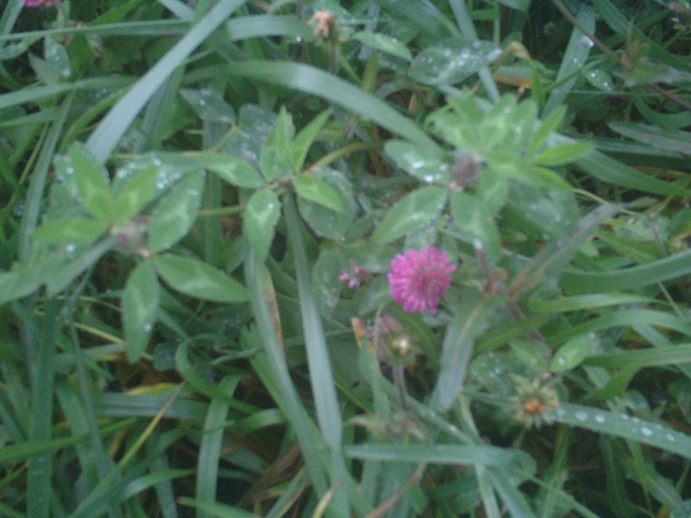 trêfle des prés, fleurs rosacées