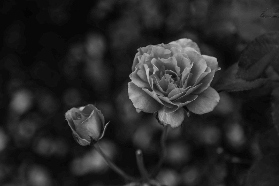 Rose s/w Fotografie