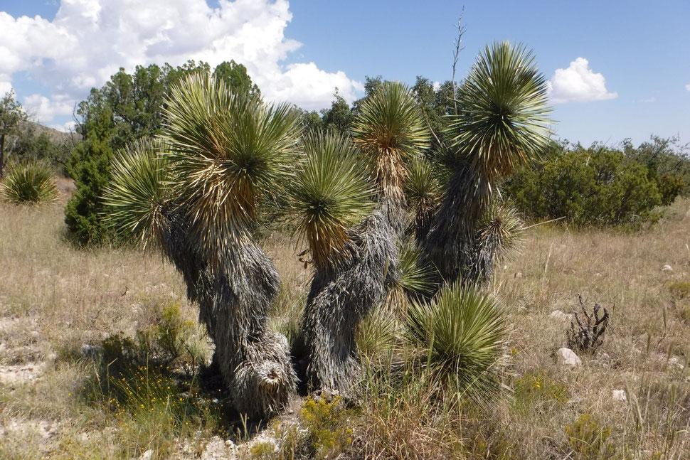 Bild Yucca thompsoniana (c) David Richardson