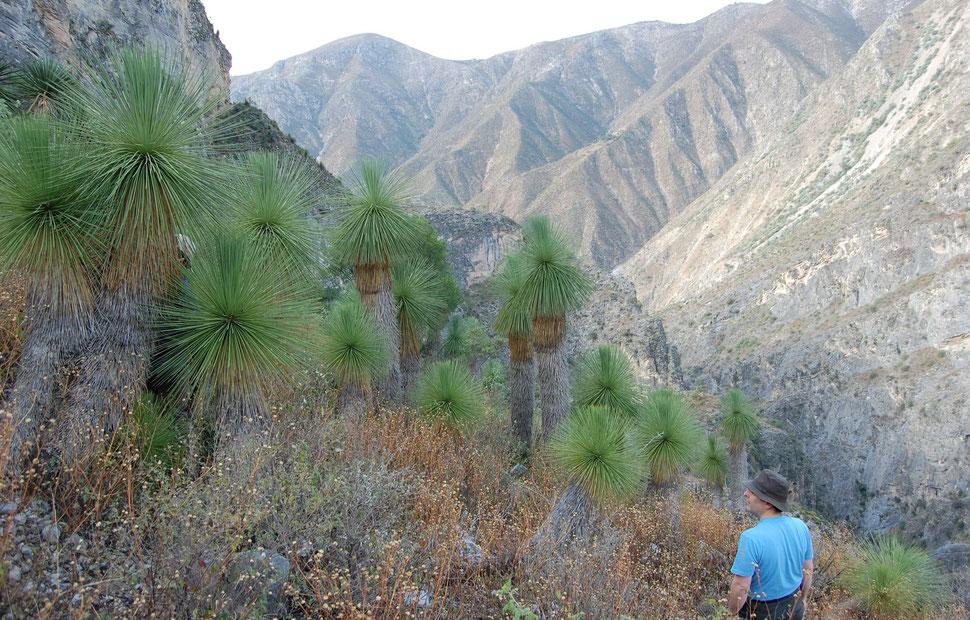 Bild Yucca queretaroensis (c) Paul Spracklin