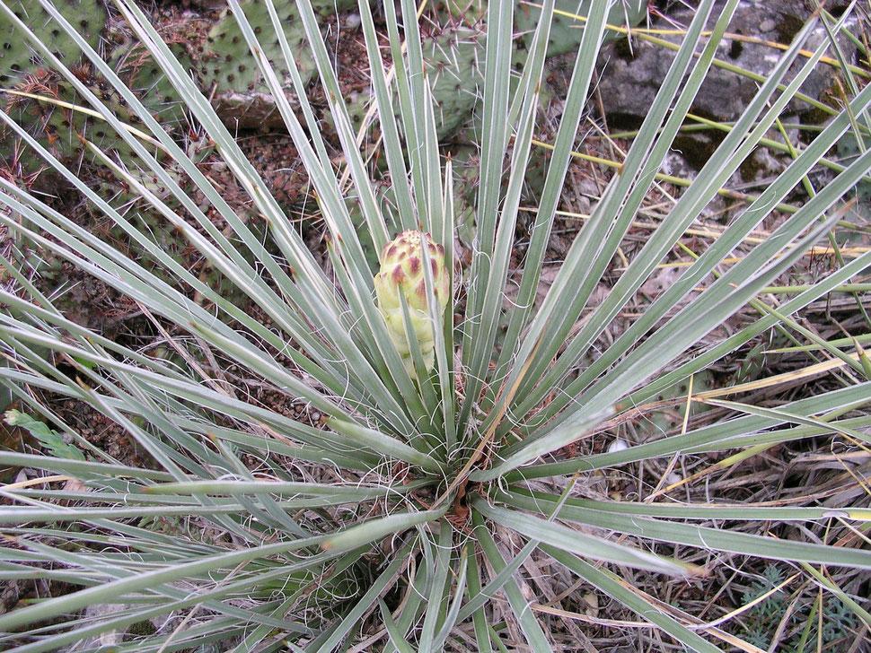 Bild Yucca glauca
