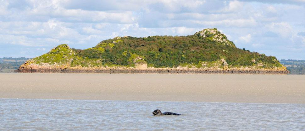Tombelaine, le phoque, à Tombelaine, l'îlot