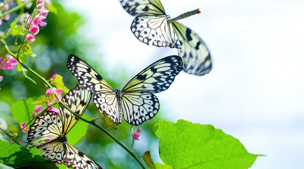Drei Schmetterlinge im Flug