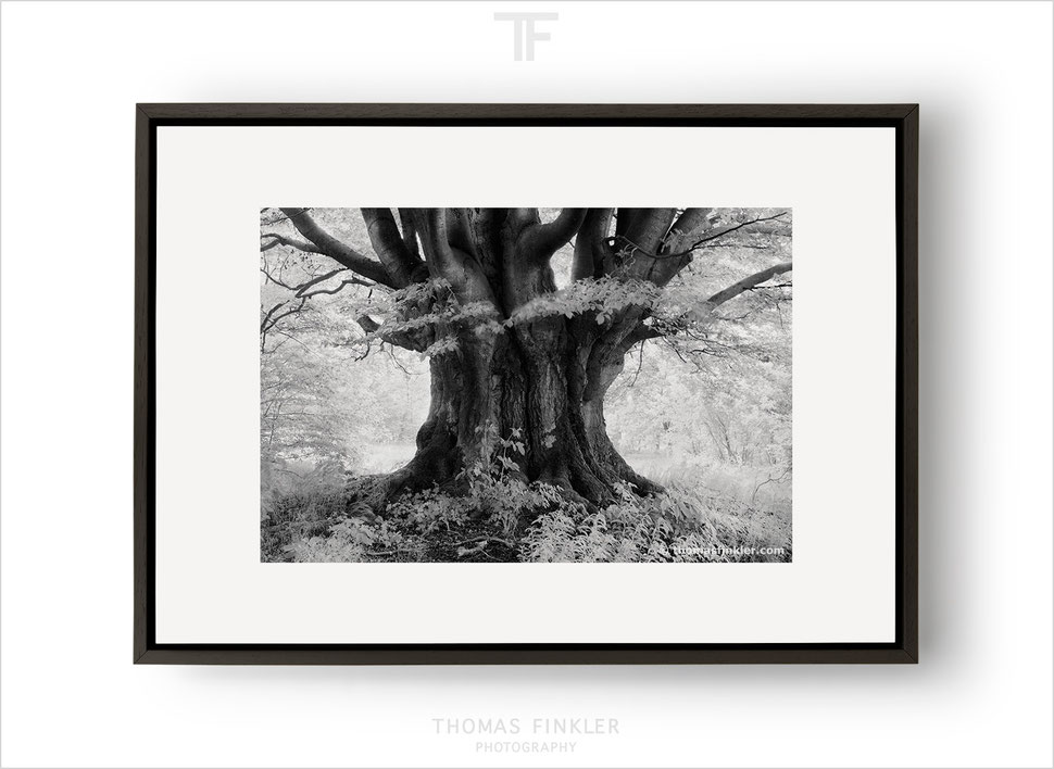 Buy, photography, black and white, monochrome, nature, old tree, prints, fine art prints, wall art prints, framed, fine art, limited edition
