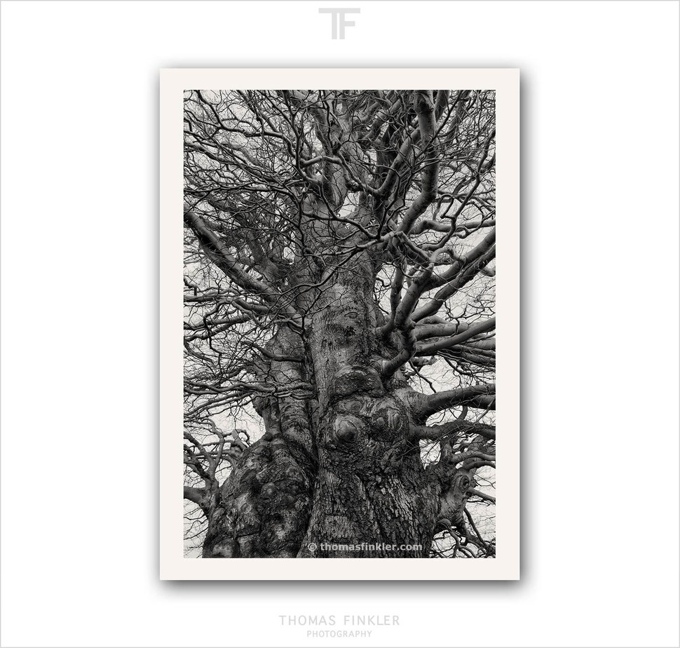 Black and white photography, fine art, wall art, nature, abstract, old trees, beech tree, amazing, vision, limited edition, prints, for sale