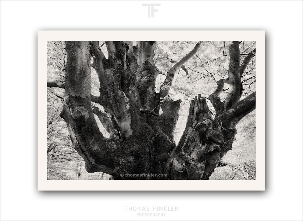 Fine art photography, black and white, monochrome, nature, old tree, beech tree, ancient, amazing, vision, limited edition, prints, for sale