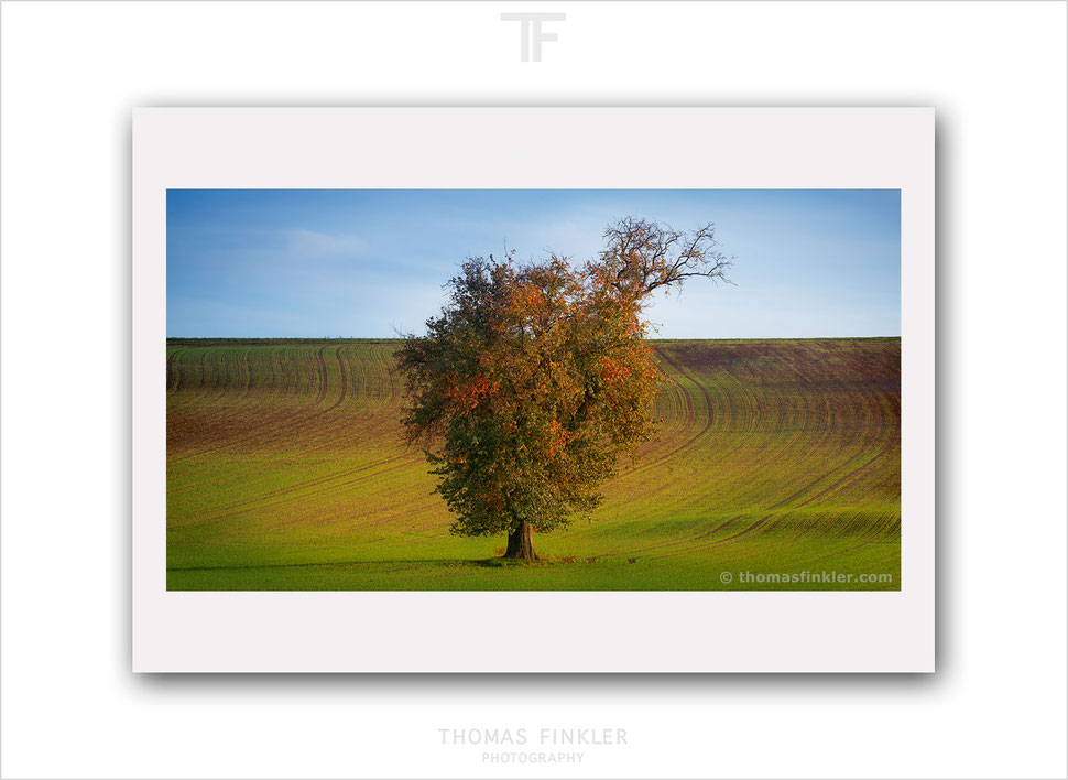 Fine art, photography, nature, landscape, tree, single tree, autumn, fall, minimal, minimalist, color, limited edition, art, prints, for sale