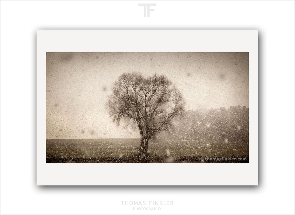 Fine art, photography, snowfall, snow, tree, tree of life, single tree, solitary tree, muted color, art, print, prints, limited edition