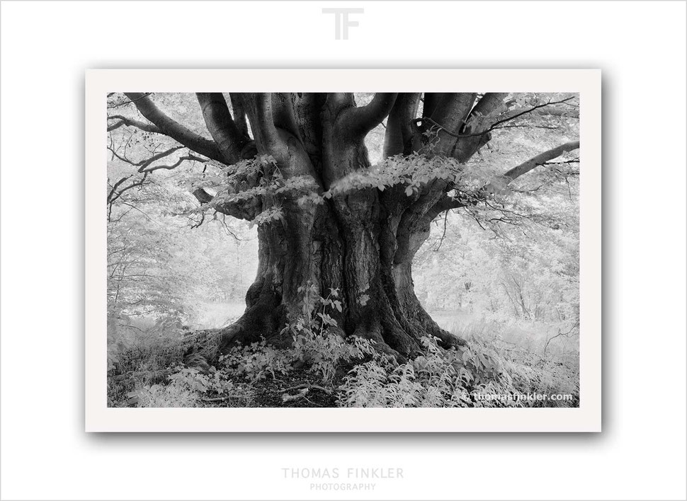 Fine art print, fine art prints for sale, buy fine art prints, fine art prints, fine art photography, nature, trees, limited edition, black and white