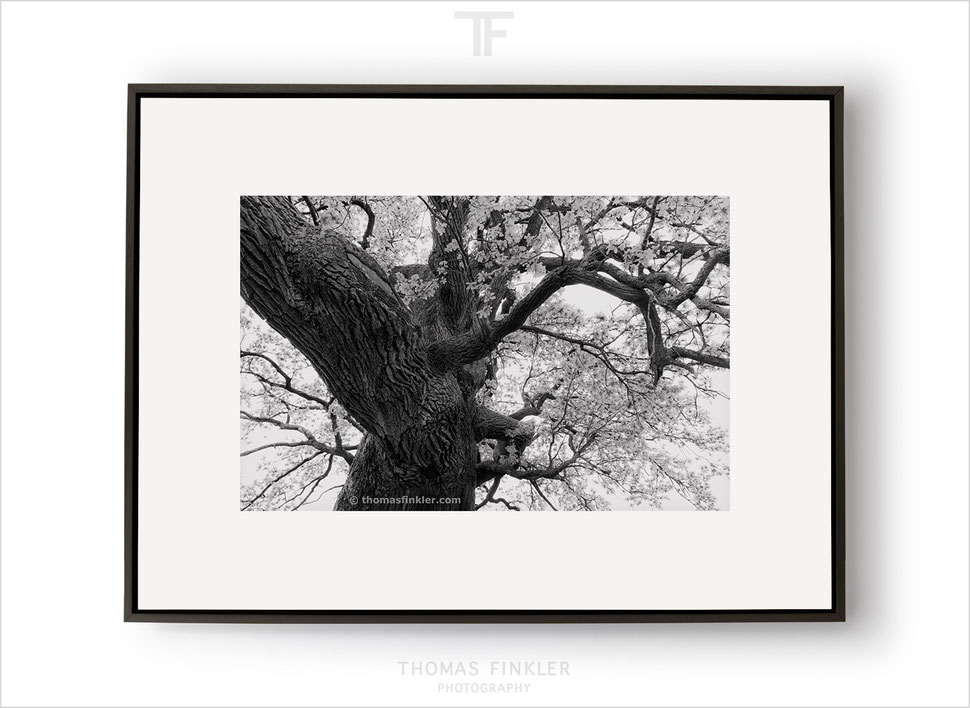 Fine art photography, black and white, monochrome, nature, old tree, oak tree, amazing, trunk, branches, vision, framed, prints, for sale