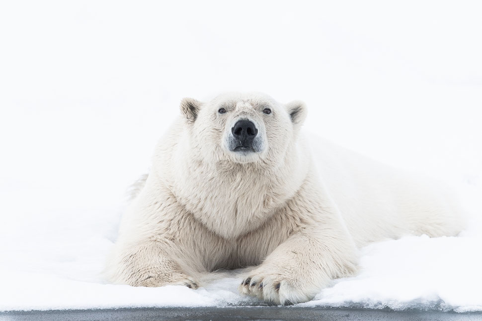 Polar bear lying on drift ice on Svalbard