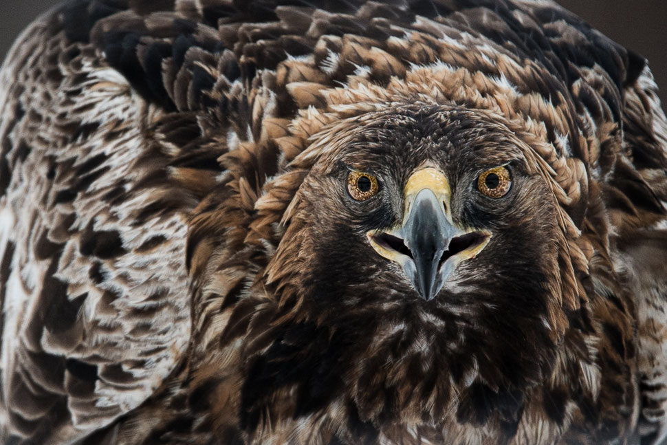 Portrait Golden Eagle, Sweden