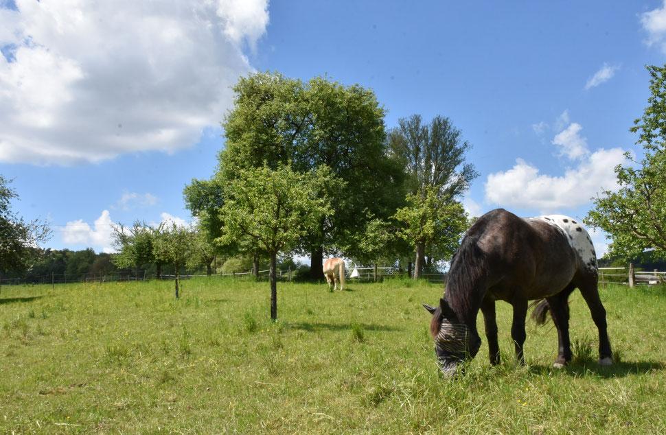 Der erste halbe Tag auf der Weide - die auch schon ziemlich abgegrast ist.