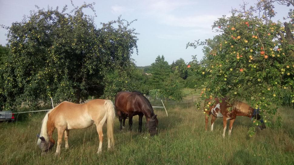 Auf Weide Nr. 5 - mit abgesperrten Apfelbäumen wg. zuviel Fallobst