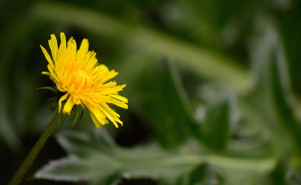 taraxacum officinale flower