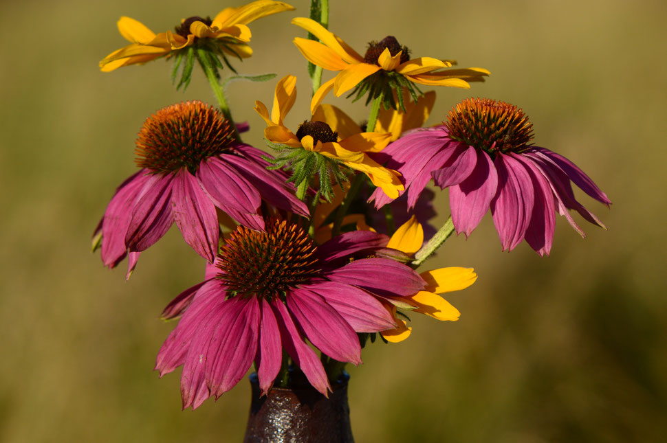 echinacea purpurea powwow wildberry and rudbeckia triloba