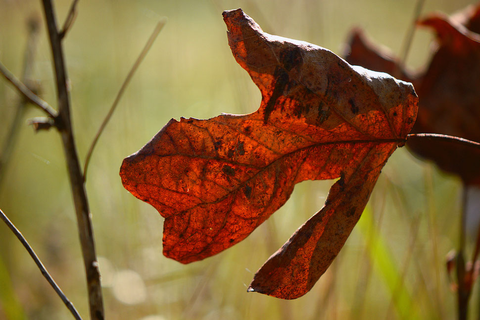 liriodendron leaf, autumn